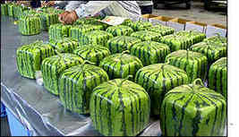 BBC News   ASIA-PACIFIC   Square fruit stuns Japanese shoppers   CEO Leadership   Scoop.it