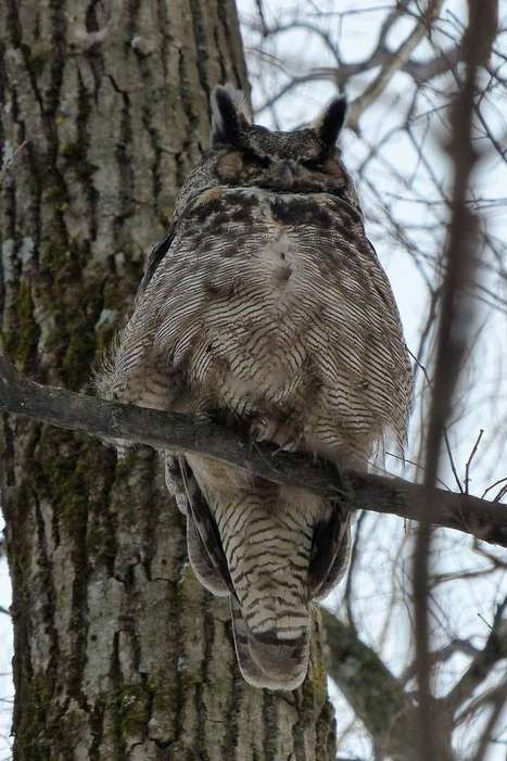 Photos de rapaces : Grand-duc d'Amérique - Grand-duc de Virginie - Bubo virginianus - Strix virginiana - Great Horned Owl | Fauna Free Pics - Public Domain - Photos gratuites d'animaux | Scoop.it