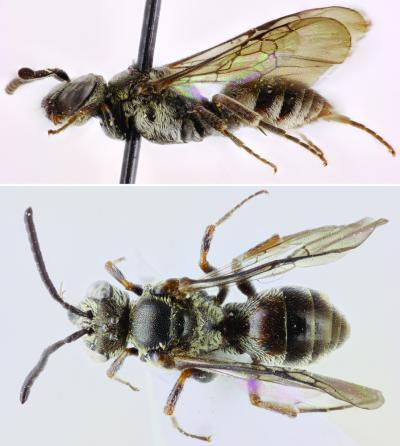 Les abeilles-coucous des îles du Cap-Vert   EntomoNews   Scoop.it