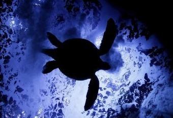 La lucha a contracorriente de las tortugas planas  - EFE Futuro América | Agua | Scoop.it