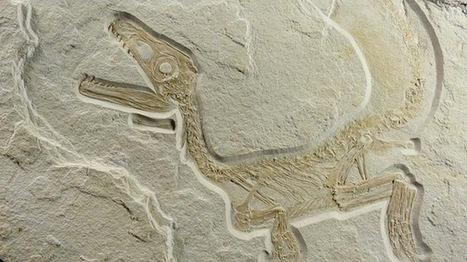 Le plus beau de tous les fossiles de dinosaure à plumes. | Aux origines | Scoop.it