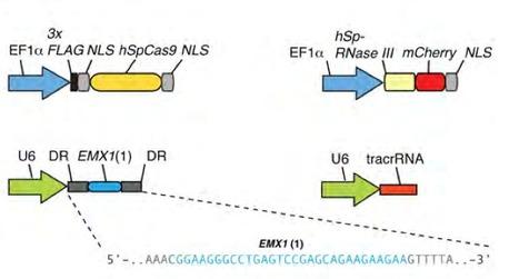 Multiplex Genome Engineering Using CRISPR/Cas Systems | SynBioFromLeukipposInstitute | Scoop.it