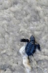 Scientists look to reverse sea turtle's sudden decline | Sustain Our Earth | Scoop.it