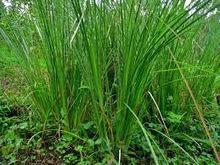 Akar wangi (Vetiveria zizanoides Stapt) | Aneka Resep | Cara Diet Sehat | Tanaman Obat | Scoop.it