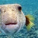 Open Season on Hawaii's Marine Aquarium Collectors   Ornamental Aquatics   Scoop.it