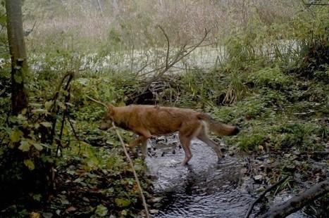 Camera Traps Reveal What's Happening As Wildlife Reclaims Chernobyl   GarryRogers Biosphere News   Scoop.it