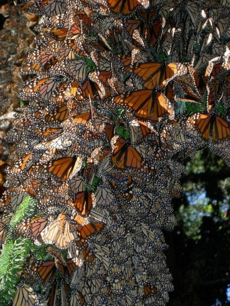 How Monarch Butterflies Found (and Lost) Their Migration | GarryRogers NatCon News | Scoop.it