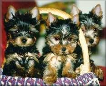 (DE) - Hunderassen, Dog Breeds, Standard, Portraits | hund.ch | Glossarissimo! | Scoop.it