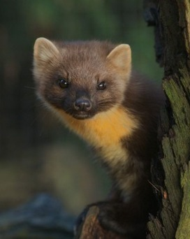Leaked plan to get rid of pine martens 'deeply flawed' - Rob Edwards | The natural world | Scoop.it