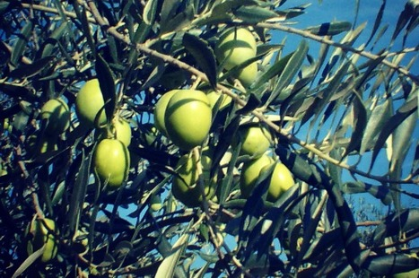 Ascolana Tenera | Olive Oil: Italian varieties | Oliviotree Adoption | Scoop.it