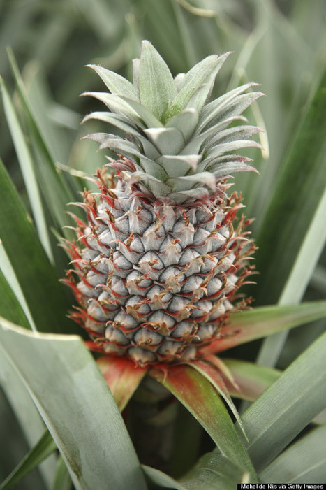 17 Mind-Boggling Facts About Pineapples | Knowledge | Scoop.it
