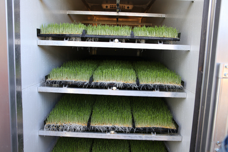 Growing Sprouted Fodder For Livestock | Sustain Our Earth | Scoop.it