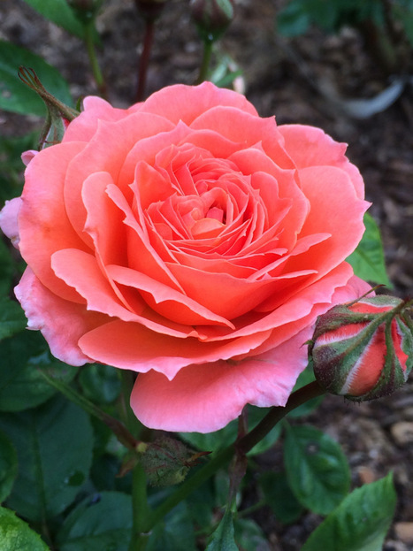 New Rose In The Garden - Van Leer Rose | Natural Soil Nutrients | Scoop.it