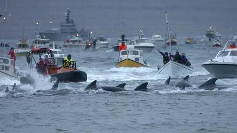 HONTEUX. Iles Féroé : 250 baleines massacrées lors d'une chasse traditionnelle | Chronique d'un pays où il ne se passe rien... ou presque ! | Scoop.it