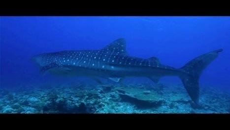 Vidéo Full HD | Voyage plongée en croisière aux Maldives ! | Plongeurs.TV | Scoop.it
