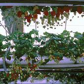Hidroponia y Cultivos Hidroponicos: El Cultivo Hidroponico de Fresas | Cultivos Hidropónicos | Scoop.it