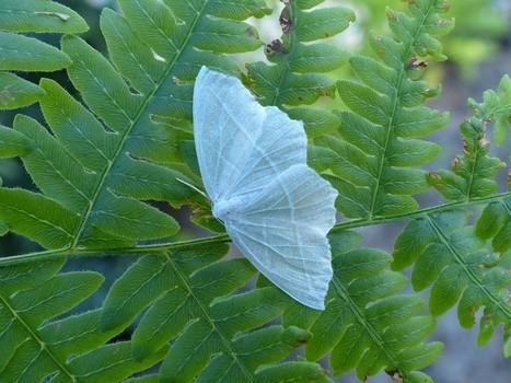 Photo de géométridé du Québec : Arpenteuse perlée - Campaea perlata - Pale Beauty moth - Fringed looper | Fauna Free Pics - Public Domain - Photos gratuites d'animaux | Scoop.it