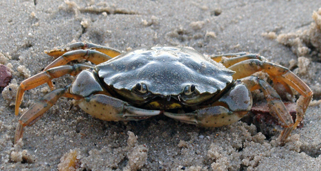 Microplastics lodge in crab gills and guts | Science News | Sustain Our Earth | Scoop.it