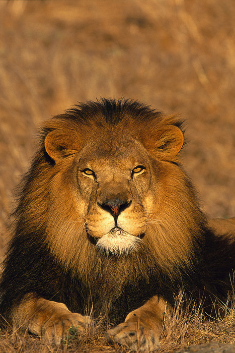 Anybody care about the Lions? No protection under TOPS | Trophy Hunting: It's Impact on Wildlife and People | Scoop.it