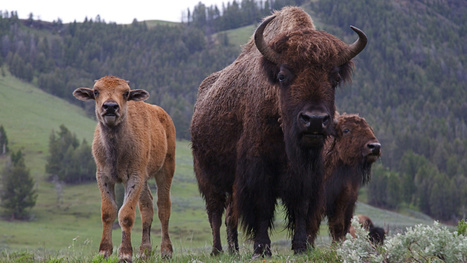 Bison ranching is growing in the U.S. — and so is the debate over how to raise them | Sustain Our Earth | Scoop.it