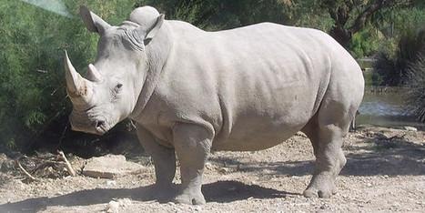 Le Zimbabwe a perdu les deux tiers de ses rhinocéros en vingt ans   Biodiversité   Scoop.it