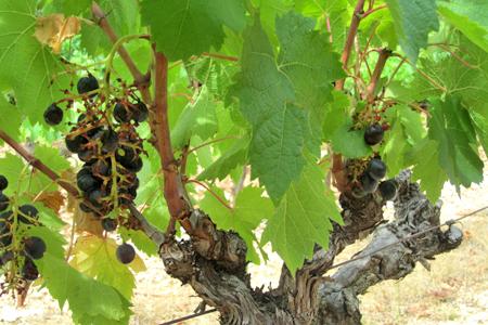 Gard : ras-le-bol des dégâts de sangliers | Viticulture | Scoop.it