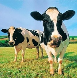 Humans Shouldn't Drink Cow's Milk. | AP Human Geography | Scoop.it