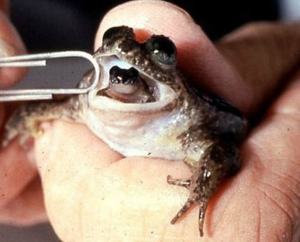 Scientists resurrect an extinct frog that gives birth from its mouth | New Europe | worldnews-today | Scoop.it