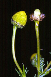 MANZANILLA | LA MANZANILLA UNA MARAVILLA.(Matricaria chamomilla L. ) | Scoop.it