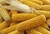 OGM : le retour de bâton... ? - Tela Botanica | Abeilles, intoxications et informations | Scoop.it