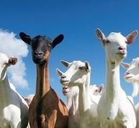 Girişimciye Yatırım Destekleri, Keçi Besiciliği, Saanen Keçisi | saanen keçileri | Scoop.it
