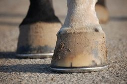 Laminitis Overview and Anatomy - TheHorse.com | Farriers and horseshoes around the globe | Scoop.it