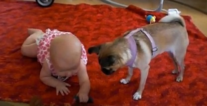Sweet dog helps teach baby to crawl (VIDEO) | animals and prosocial capacities | Scoop.it