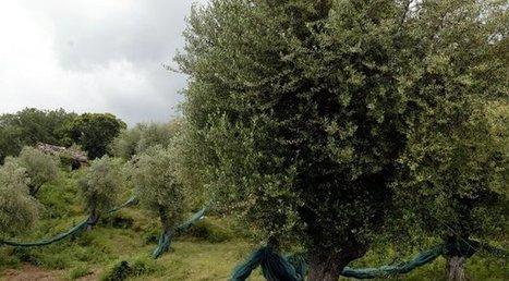 Xylella : les oléiculteurs exigent un verrouillage absolu | décroissance | Scoop.it