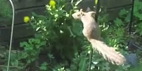 Squirrel Defeats 'Squirrel-Proof' Feeder With Style | Strange days indeed... | Scoop.it