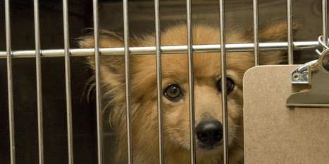 FINALLY! New York Governor Bolsters Puppy Mill Regulation With New Law | Feline Health and News - manhattancats.com | Scoop.it
