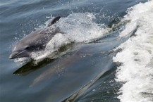 Deepwater Horizon Oil Spill Linked To Dolphin Lung Damage And Hormonal Imbalances | Sustain Our Earth | Scoop.it