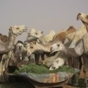 Saudi Arabian Camels Carry MERS Coronavirus | Global Biodefense | MERS-CoV | Scoop.it