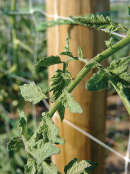 Pruning and Staking Tomatoes | School Gardening Resources | Scoop.it