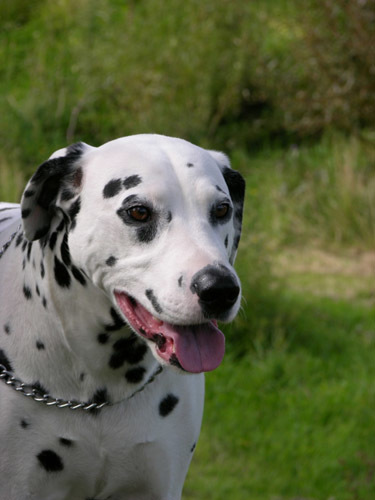 World's 10 Most Dangerous Dog Breeds | Breeds and Such | Scoop.it
