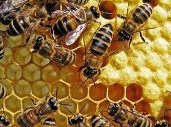 L'Illinois saisit illégalement les abeilles résistantes au Roundup de Monsanto | Shabba's news | Scoop.it