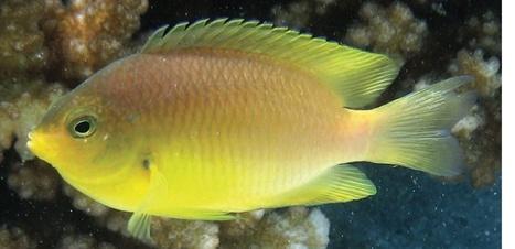 Le poisson-demoiselle, crooner des récifs coralliens | Biodiversité | Scoop.it