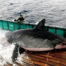 'Shark Man' docks in Mossel Bay to research Great Whites | Indigo Scuba | Scoop.it