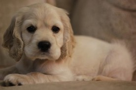 Information About the English Cocker Spaniel | Natural Pet Care | Scoop.it