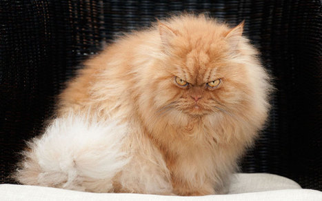 Angry Cat: Meet the moody monster moggy, in pictures   Discover Sigalon Valley - Where the Tags are the Topics   Scoop.it