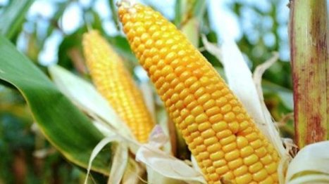 France: Hollande vows to uphold ban on Monsanto GM corn | MAIZE | Scoop.it