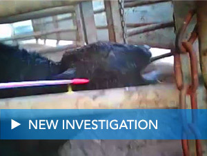 Shocking undercover live export investigation: Tnuva, Israel | TAKE ACTION | Nature Animals humankind | Scoop.it