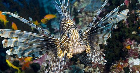Attention sur les plages : ce poisson extrêmement venimeux envahit la Méditerranée | Zones humides - Ramsar - Océans | Scoop.it