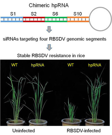 Hairpin RNA Targeting Multiple Viral Genes Confers Strong Resistance to Rice Black-Streaked Dwarf Virus | The Science I Like | Scoop.it