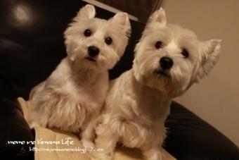 今日はよろしくです♫   West Highland White Terrier   Scoop.it
